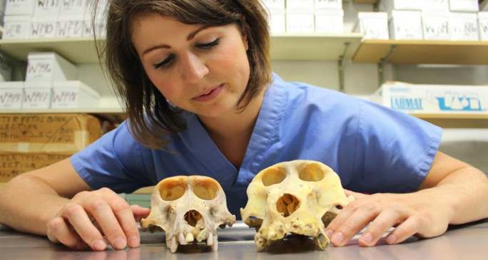 Graduate Students Jessica Jorganic studies the molecular evolution of the craniofacial complex in primates. Photo by Alison Heller
