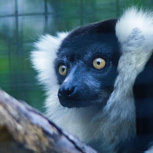 A tale of two forests could reveal path forward for saving endangered lemurs