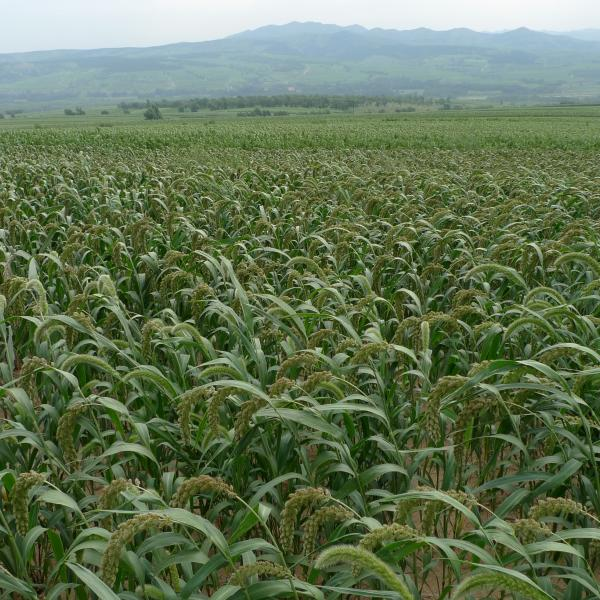 Liu and colleagues receive NSF funding for millet research