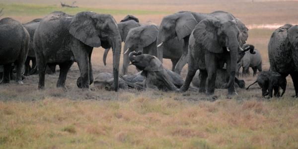 elephants roll in mud