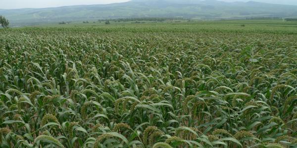 foxtail millet field in inner mongolia